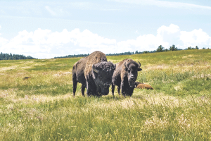 Raising and selling bison