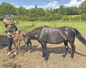 Newfoundland ponies offer new hope