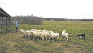 Ewe Lamb Right Farm
