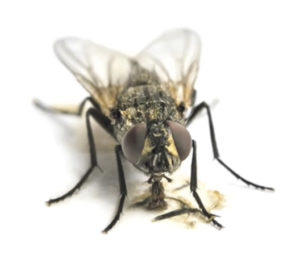 House flies in the barn