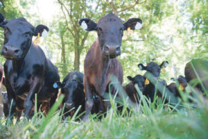 Rethinking deworming of beef cattle – The growing issue of resistance